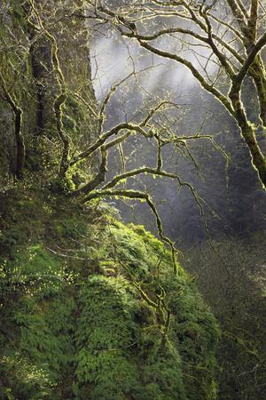 https://imgc.allpostersimages.com/img/posters/moss-covered-maple-trees-oregon-usa_u-L-PN6S110.jpg?p=0