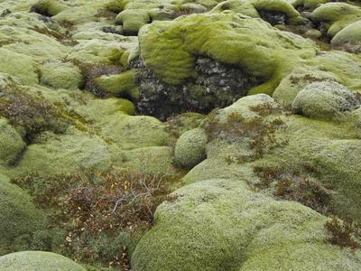 https://imgc.allpostersimages.com/img/posters/moss-cushion-lava-field-eldhraun-south-iceland-iceland_u-L-Q11YZ9W0.jpg?p=0