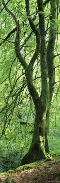 Moss Growing on a Beech Tree, Perthshire, Scotland