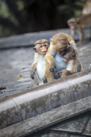 https://imgc.allpostersimages.com/img/posters/mother-and-baby-monkeys-royal-caves-dambulla-sri-lanka-asia_u-L-PQ8UWT0.jpg?p=0