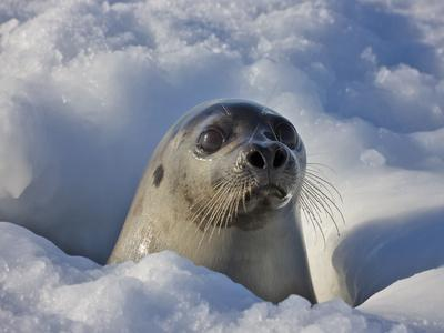 https://imgc.allpostersimages.com/img/posters/mother-harp-seal-raising-head-out-of-hole-in-ice-iles-de-la-madeleine-quebec-canada_u-L-PHAESZ0.jpg?p=0
