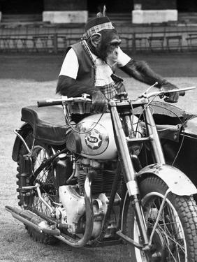 Motorcycle Chimp