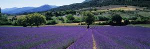 Mountain Behind a Lavender Field, Provence, France