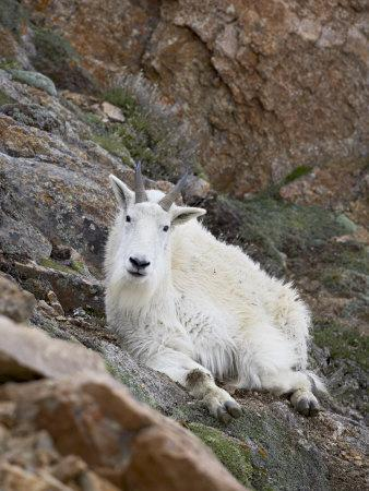 https://imgc.allpostersimages.com/img/posters/mountain-goat-mount-evans-colorado-united-states-of-america-north-america_u-L-P7NQV40.jpg?p=0