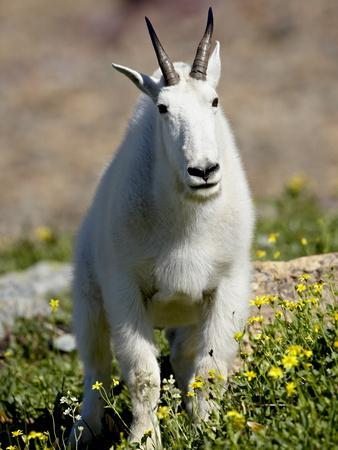 https://imgc.allpostersimages.com/img/posters/mountain-goat-oreamnos-americanus-glacier-national-park-montana-usa_u-L-PFN9AC0.jpg?p=0