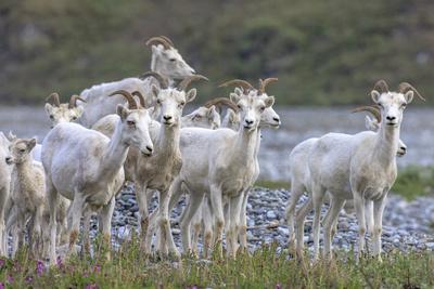 https://imgc.allpostersimages.com/img/posters/mountain-goats-kongakut-river-anwr-alaska-usa_u-L-PN71840.jpg?p=0