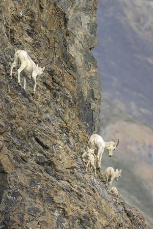 https://imgc.allpostersimages.com/img/posters/mountain-goats-kongakut-river-anwr-alaska-usa_u-L-PN718J0.jpg?p=0