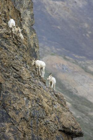 https://imgc.allpostersimages.com/img/posters/mountain-goats-kongakut-river-anwr-alaska-usa_u-L-PN718Y0.jpg?p=0