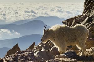 Mountain Goats, Mount Evans, Colorado, USA