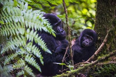 https://imgc.allpostersimages.com/img/posters/mountain-gorilla-gorilla-beringei-beringei-in-the-bwindi-impenetrable-national-park_u-L-PQ8OJB0.jpg?p=0
