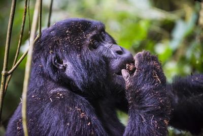 https://imgc.allpostersimages.com/img/posters/mountain-gorilla-gorilla-beringei-beringei-in-the-bwindi-impenetrable-national-park_u-L-PQ8OJN0.jpg?p=0