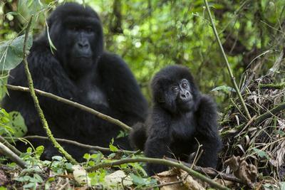 https://imgc.allpostersimages.com/img/posters/mountain-gorilla-gorilla-gorilla-beringei-baby-age-one-year-exploring_u-L-Q13AB9G0.jpg?p=0