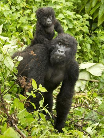 https://imgc.allpostersimages.com/img/posters/mountain-gorilla-volcanoes-national-park-rwanda_u-L-PHAMHU0.jpg?artPerspective=n