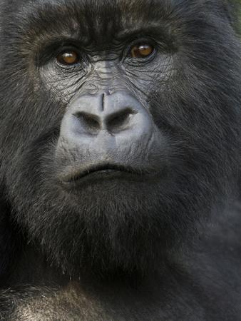 https://imgc.allpostersimages.com/img/posters/mountain-gorilla-volcanoes-national-park-rwanda_u-L-PHAMJR0.jpg?p=0