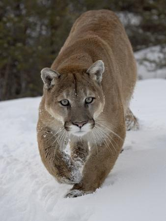 https://imgc.allpostersimages.com/img/posters/mountain-lion-cougar-felis-concolor-in-snow-in-captivity-near-bozeman-montana_u-L-PFNAQA0.jpg?p=0