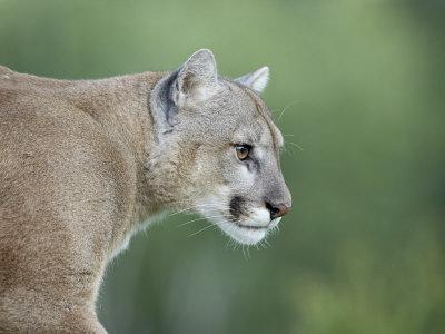 https://imgc.allpostersimages.com/img/posters/mountain-lion-in-captivity-sandstone-minnesota-usa_u-L-P7NR1C0.jpg?p=0