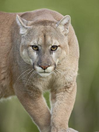 https://imgc.allpostersimages.com/img/posters/mountain-lion-or-cougar-in-captivity-sandstone-minnesota-usa_u-L-P7NQYO0.jpg?p=0