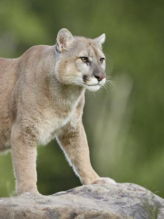 https://imgc.allpostersimages.com/img/posters/mountain-lion-or-cougar-in-captivity-sandstone-minnesota-usa_u-L-P7NQZK0.jpg?p=0