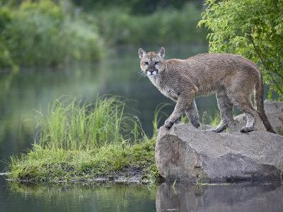 https://imgc.allpostersimages.com/img/posters/mountain-lion-or-cougar-in-captivity-sandstone-minnesota-usa_u-L-P7NR0G0.jpg?p=0