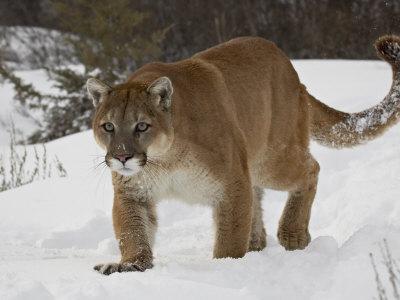 https://imgc.allpostersimages.com/img/posters/mountain-lion-or-cougar-in-snow-near-bozeman-montana-usa_u-L-P7NQW00.jpg?p=0