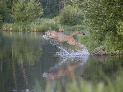 https://imgc.allpostersimages.com/img/posters/mountain-lion-or-cougar-jumping-into-the-water-in-captivity-sandstone-minnesota-usa_u-L-P7NQXS0.jpg?p=0