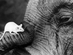 Mouse Crawls up Elephants Trunk