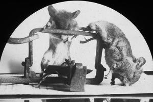 Mouse or Rat Trap?, Late 19th or Early 20th Century