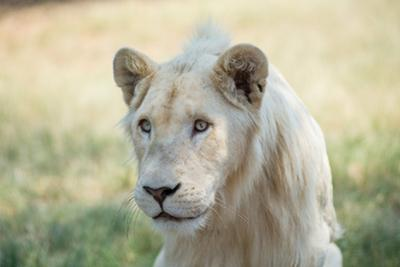 White Lion by mr anderson