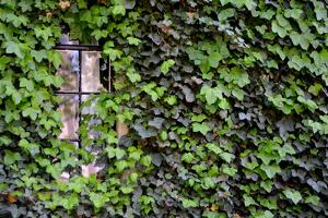 Ivy Covered House by Mr Doomits