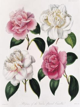 Blooms of Various Flowered Camellia by Mrs Withers