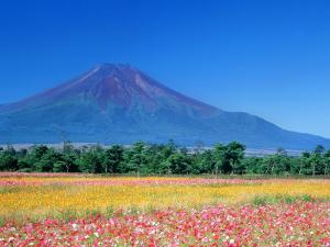Mt. Fuji and Cosmos Flowers, Oshino, Yamanashi, Japan