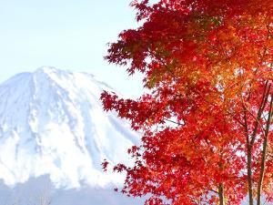 Mt. Fuji and Japanese maple tree in autumn, Yamanashi Prefecture, Honshu, Japan