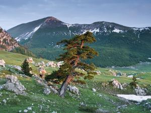Bosnian Pine (Pinus Leucodermis - Heldreichii) in Rock Strewn Landscape, Pollino, Basilicata, Italy by Müller