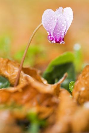 Cyclamen in Flower Covered in Water Droplets, Pollino National Park, Basilicata, Italy, November by Müller