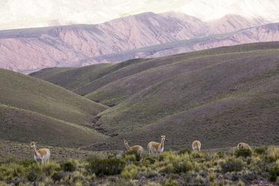 https://imgc.allpostersimages.com/img/posters/multi-coloured-mountains-and-alpacas-humahuaca-province-of-jujuy-argentina_u-L-PWFCLE0.jpg?p=0