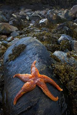 Starfish on Rock at Low Tide, Dail Beag Beach, Lewis, Outer Hebrides, Scotland, UK, June 2009 by Muñoz