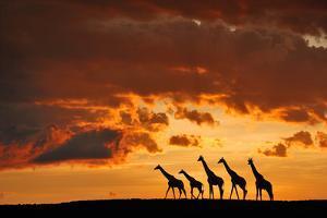 Five Giraffes by Muriel Vekemans