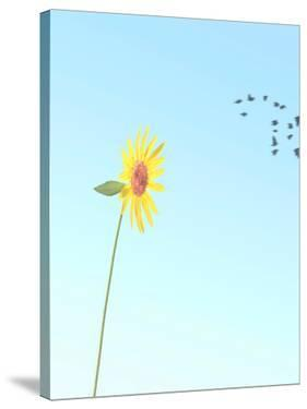 Backlit Sunflower by Murray Bolesta