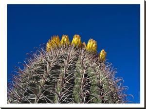 Barrel Cactus by Murray Bolesta
