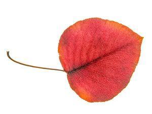 Leaf Art 4 Red by Murray Bolesta