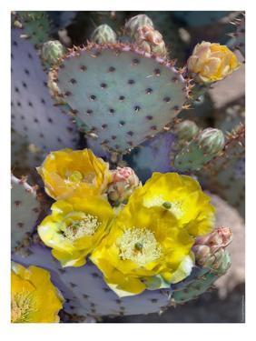 Purple Prickly Pear Cactus Blossoms by Murray Bolesta