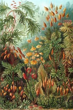 Muscinae Nature by Ernst Haeckel