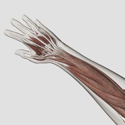 https://imgc.allpostersimages.com/img/posters/muscle-anatomy-of-human-arm-and-hand_u-L-PN92040.jpg?p=0