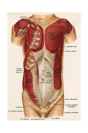https://imgc.allpostersimages.com/img/posters/muscles-front-of-body_u-L-PS12TB0.jpg?artPerspective=n