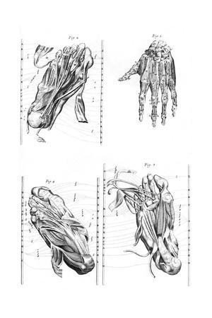 https://imgc.allpostersimages.com/img/posters/muscles-of-hand-and-foot_u-L-PS1BIB0.jpg?artPerspective=n