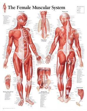 Muscular System Female Educational Chart Poster