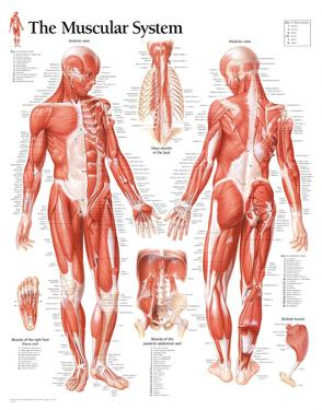 Muscular System Male Educational Chart Poster