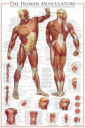 affordable anatomy posters for sale at allposters comUnlabeled Body Diagram Person With Actual Clothes #12
