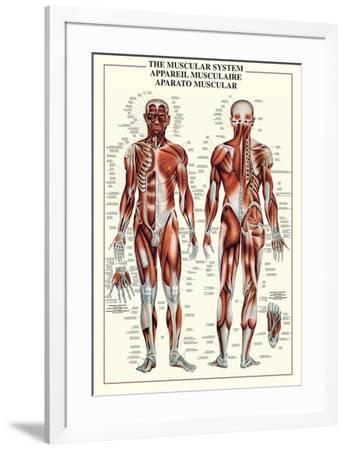 Muscular System--Framed Poster