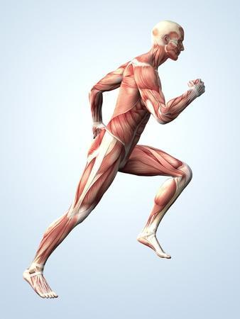 https://imgc.allpostersimages.com/img/posters/muscular-system_u-L-PZGGCH0.jpg?artPerspective=n